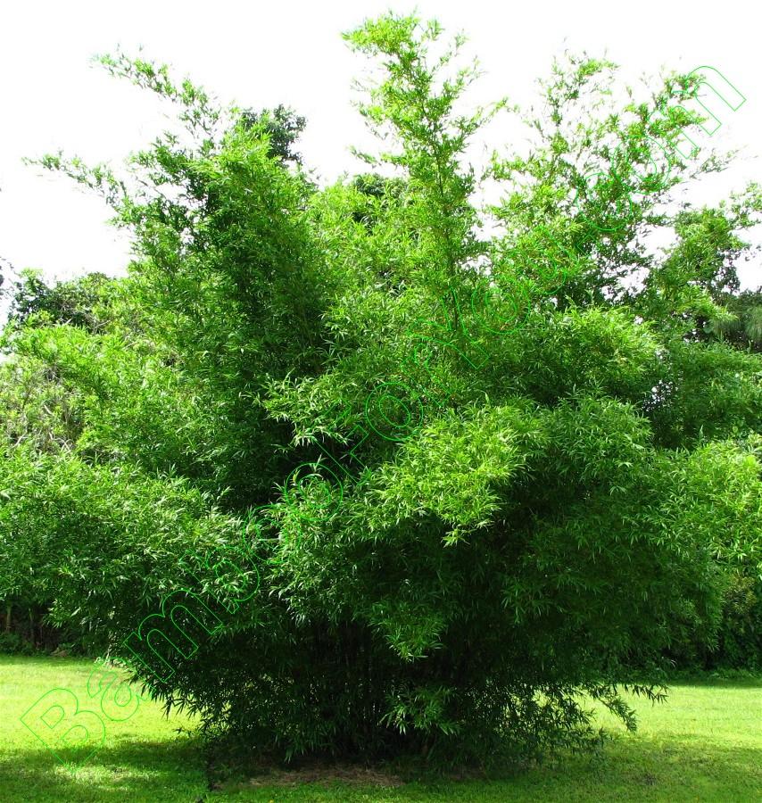 Bambusa Tuldoides Clone X - Fuzzbeed HD Gallery