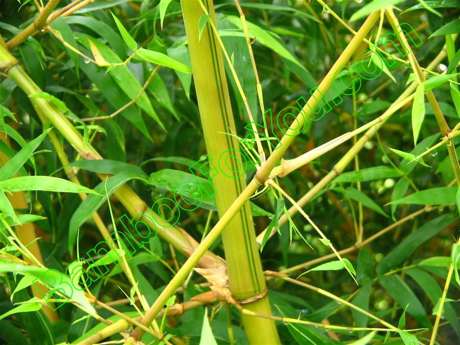 Bambusa tuldoides ventricosa Kimmei, Bamboo Photos, Bamboo ...
