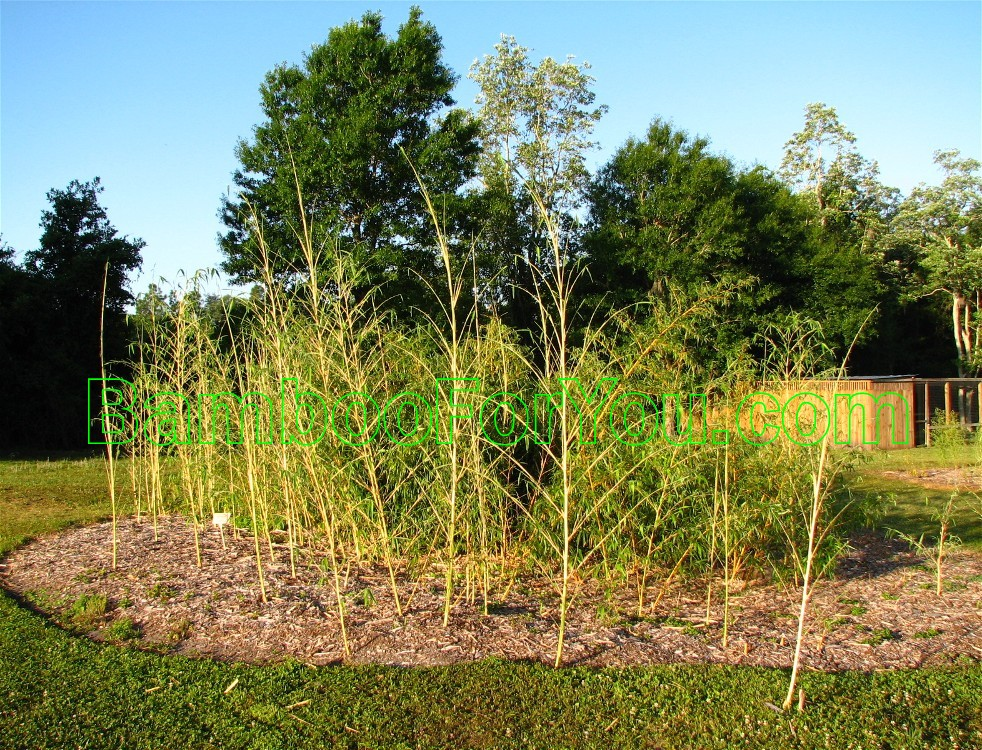 phyllostachys vivax aureocaulis bamboo photos bamboo for you. Black Bedroom Furniture Sets. Home Design Ideas