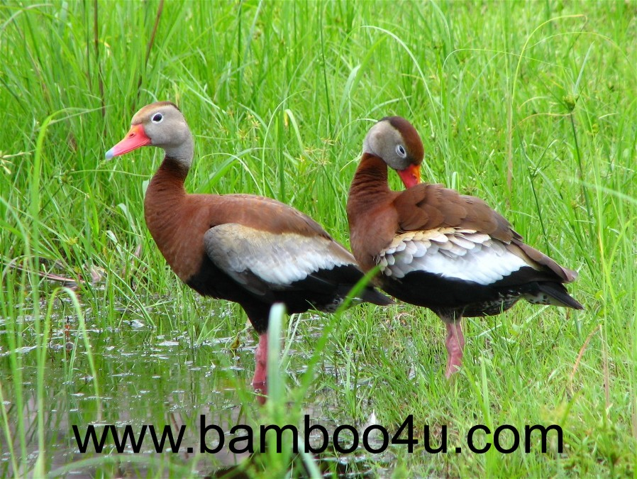 a group of black bellied whistling ducks habitat