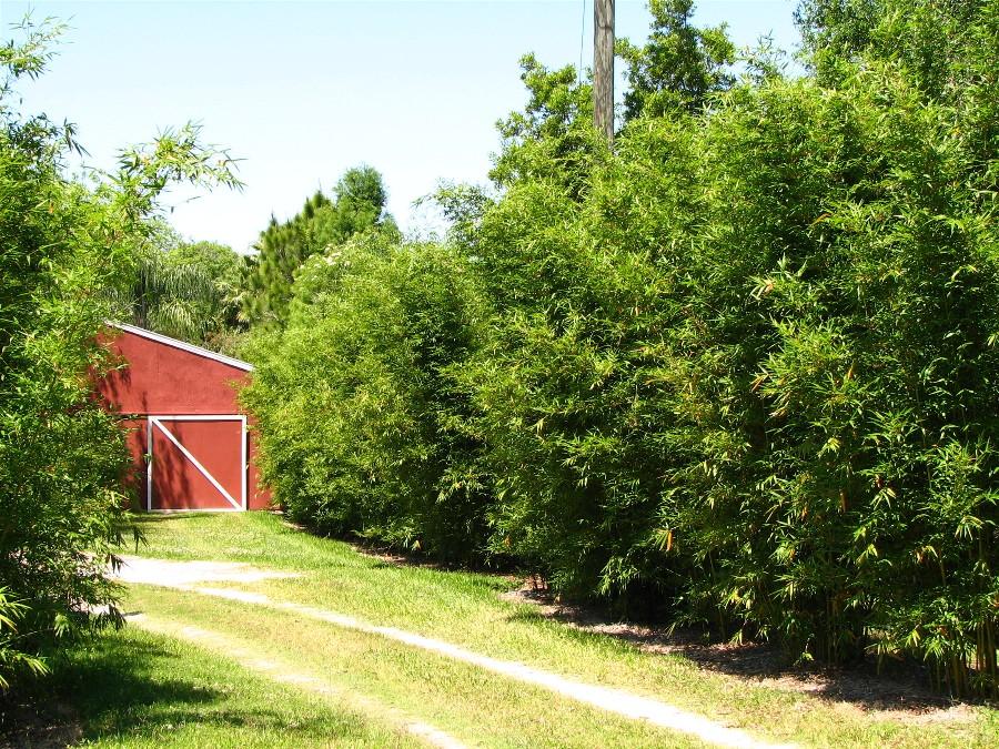 Clumping Bamboo Bambusa Non Invasive Bamboo Bamboo