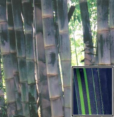Clumping Bamboo, Dendrocalamus Bamboo, Gigantochloa Bamboo, Guadua
