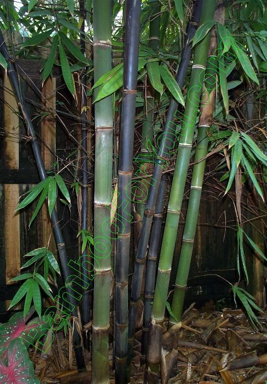 Java Black Black Bamboo Java Black