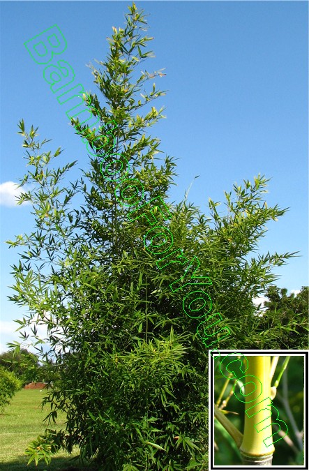 Running bamboo phyllostachys bamboo pleioblastus bamboo pseudosasa bamboo sasa bamboo for Phyllostachys aurea en pot